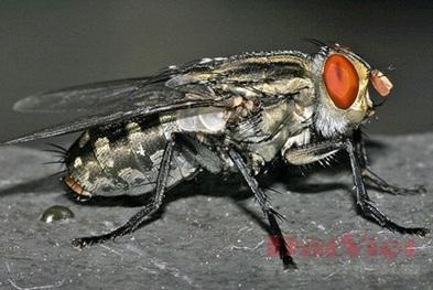 Côn trùng ruồi trâu